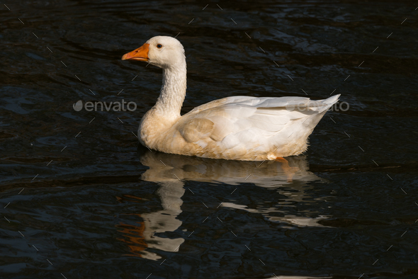 Emden Goose, a breed of domestic goose - Stock Photo - Images