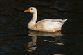 Emden Goose, a breed of domestic goose - PhotoDune Item for Sale