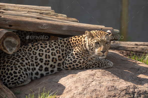 Close-up of a male AfricaA leopard, Panthera pardus, in captivityn Lion - Stock Photo - Images