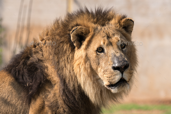 Close-up of a male African Lion - Stock Photo - Images