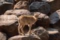 Barbary sheep kid,  Ammotragus lervia - PhotoDune Item for Sale
