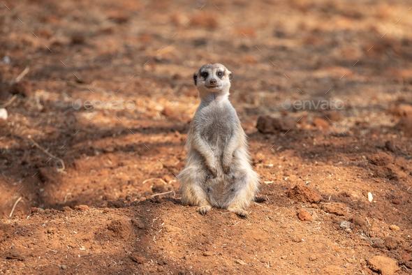 Female meerkat or suricate, Suricata suricatta - Stock Photo - Images
