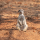 Female meerkat or suricate, Suricata suricatta - PhotoDune Item for Sale