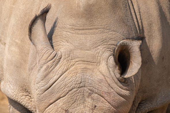 Ears of a white rhinoceros - Stock Photo - Images