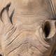 Ears of a white rhinoceros - PhotoDune Item for Sale