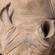 Ears of a white rhinoceros - PhotoDune Item for Sale