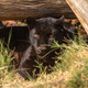 Black leopard, Panthera pardus, in captivity - PhotoDune Item for Sale
