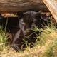 Black leopard, Panthera pardus, in captivity - PhotoDune Item for Sale