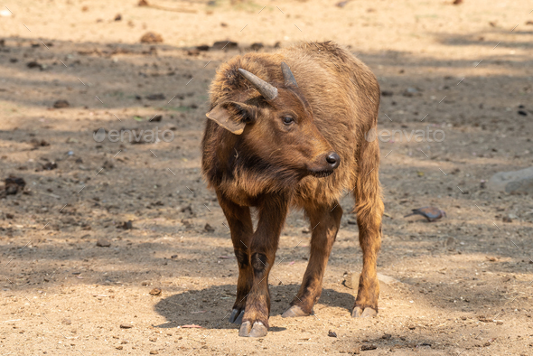 Cape buffalo calf looking to the side - Stock Photo - Images