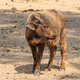 Cape buffalo calf looking to the side - PhotoDune Item for Sale