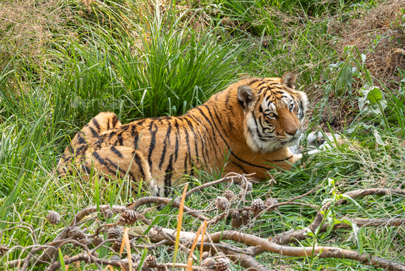 Tiger, Panthera tigris, the largest feline species - Stock Photo - Images
