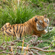 Tiger, Panthera tigris, the largest feline species - PhotoDune Item for Sale