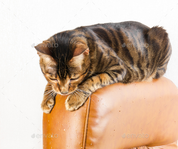 Cat sits on back of scratched leather armchair. Cat scratches th - Stock Photo - Images