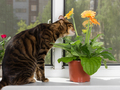 Cat breed toyger sits on window sill and sniffs gerbera flower - PhotoDune Item for Sale