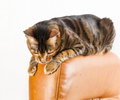 Cat sits on back of scratched leather armchair. Cat scratches th - PhotoDune Item for Sale