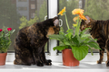 Two cat sits on window sill and look gerbera flower in flowerpot - PhotoDune Item for Sale