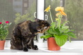 Domestic cat sits on window sill and eat gerbera flower in flowe - PhotoDune Item for Sale