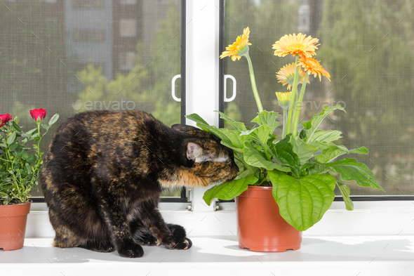 Domestic cat tortoiseshell color sits on window sill and sniffs - Stock Photo - Images