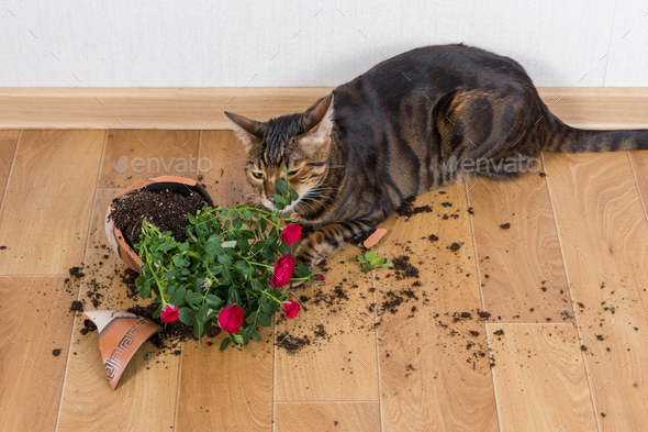 Domestic cat breed toyger dropped and broke flower pot with red - Stock Photo - Images