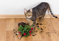Domestic cat breed toyger dropped and broke flower pot with red - PhotoDune Item for Sale