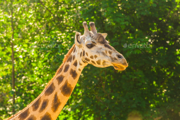 Close up portrait of giraffe - Stock Photo - Images