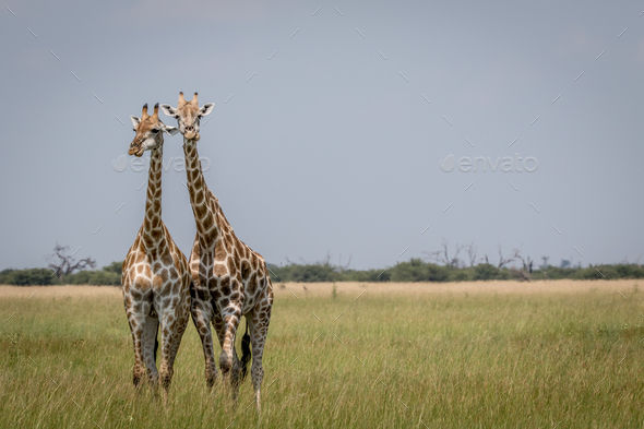 Two Giraffes starring at the camera in the Chobe National Park, - Stock Photo - Images