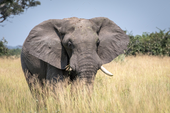 Big Elephant bull standing in the high grass. - Stock Photo - Images