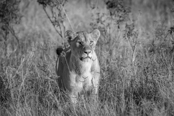 Lion standing in the grass in Chobe. - Stock Photo - Images