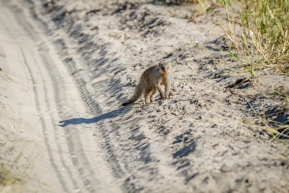 Slender mongoose standing in the sand. - Stock Photo - Images