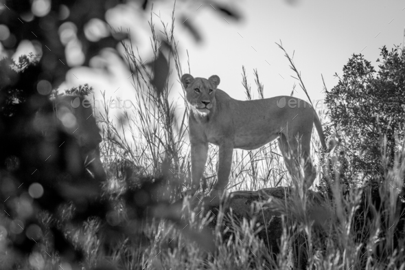 Lioness standing on a rock in Chobe. - Stock Photo - Images