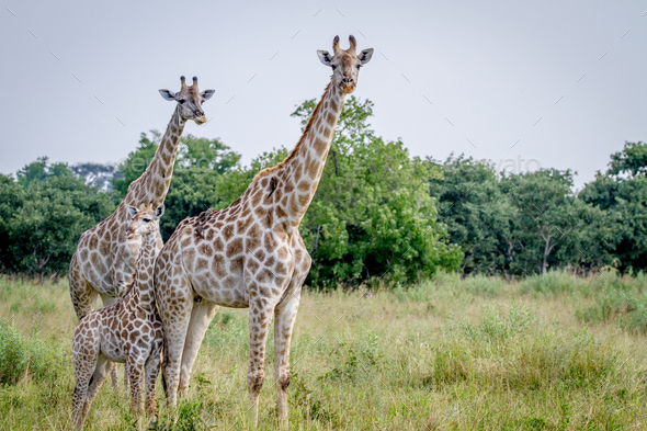 Two Giraffes starring at the camera. - Stock Photo - Images