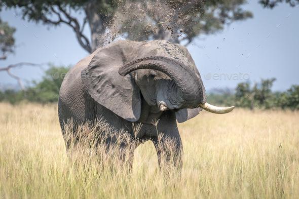 Big Elephant bull taking a dust bath. - Stock Photo - Images