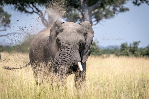 Big Elephant bull taking a dust bath. - Stock Photo - Images