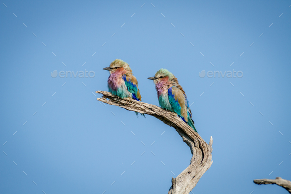 Two Lilac-breasted rollers sitting on a branch. - Stock Photo - Images