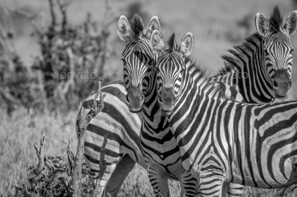 Two Zebras starring at the camera. - Stock Photo - Images