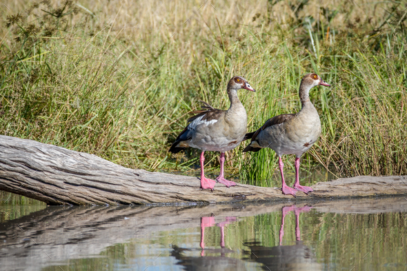 Two Egyptian geese standing on a piece of wood. - Stock Photo - Images