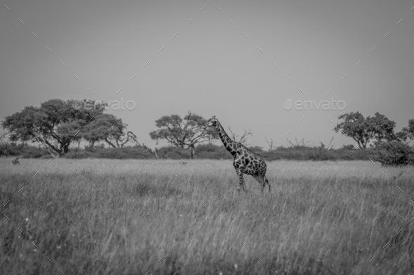 Giraffe standing in the grass. - Stock Photo - Images