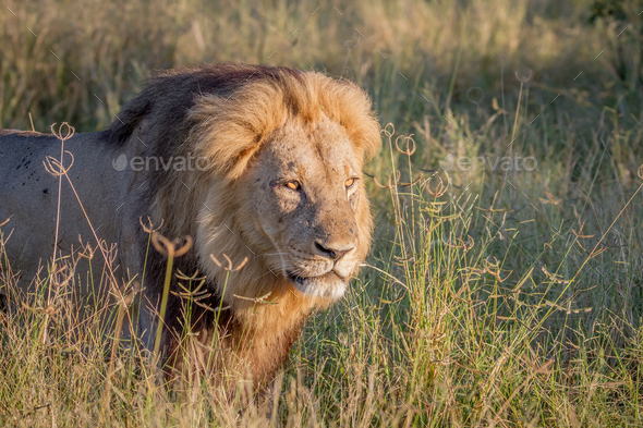 Big male Lion walking in the high grass. - Stock Photo - Images