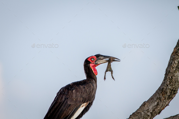 Southern ground hornbill with a frog kill. - Stock Photo - Images