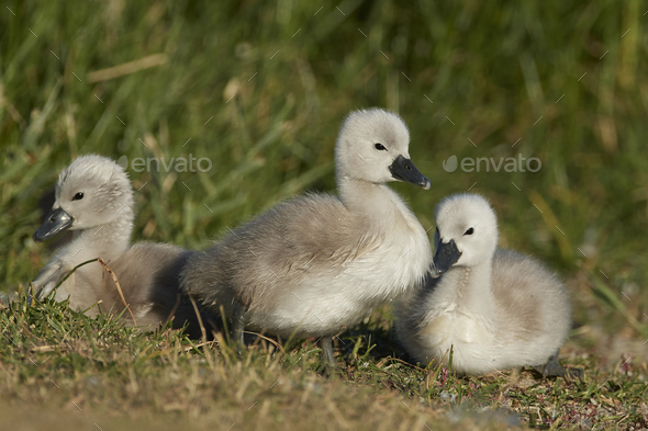 Mute swan (Cygnus olor) - Stock Photo - Images