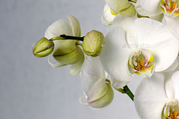 white orchids - Stock Photo - Images