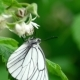 Black Veined White Butterfly on Raspberry Flowers - VideoHive Item for Sale