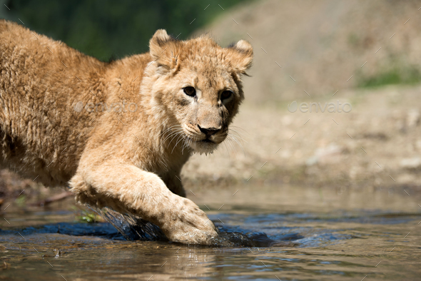 Young lion cub drink water - Stock Photo - Images