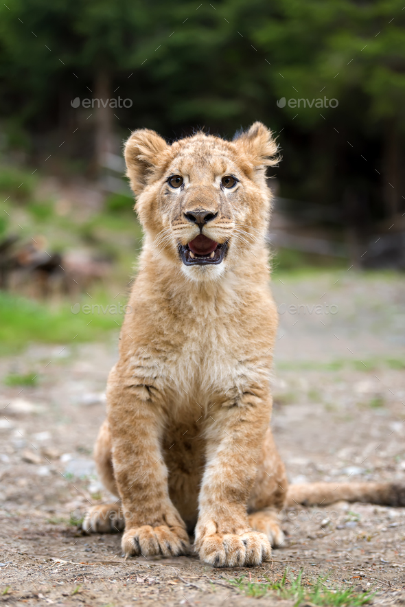 Young lion cub in the wild - Stock Photo - Images