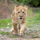 Young lion cub in the wild - PhotoDune Item for Sale