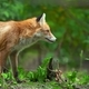 Portrait of a red fox (Vulpes vulpes) - PhotoDune Item for Sale