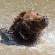 Brown bear in a water - PhotoDune Item for Sale