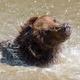 Brown bear in a water - PhotoDune Item for Sale