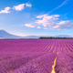 Lavender flowers blooming fields. Valensole Provence, France - PhotoDune Item for Sale