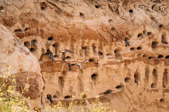 European Sand Martin Active Breeding Colony Near Burrows In Sand - Stock Photo - Images